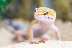 leopard gecko looking happy