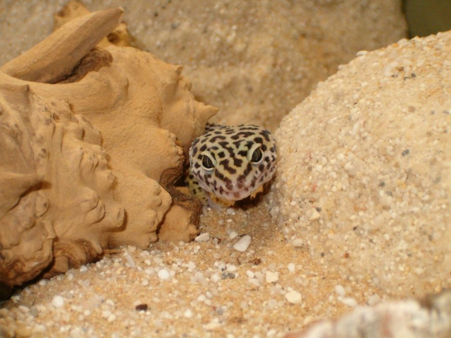 Leopard Gecko Behavior (Common & Unusual), Health & Diseases
