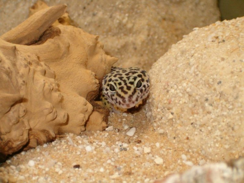 leopard gecko hiding