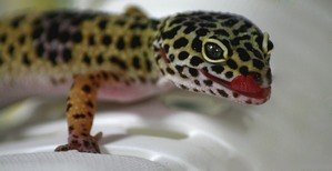 leopard gecko tongue