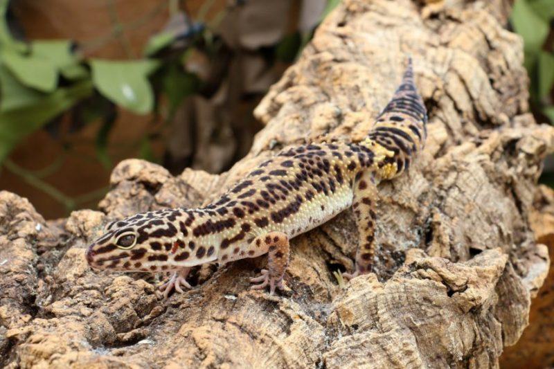 leopard gecko wood