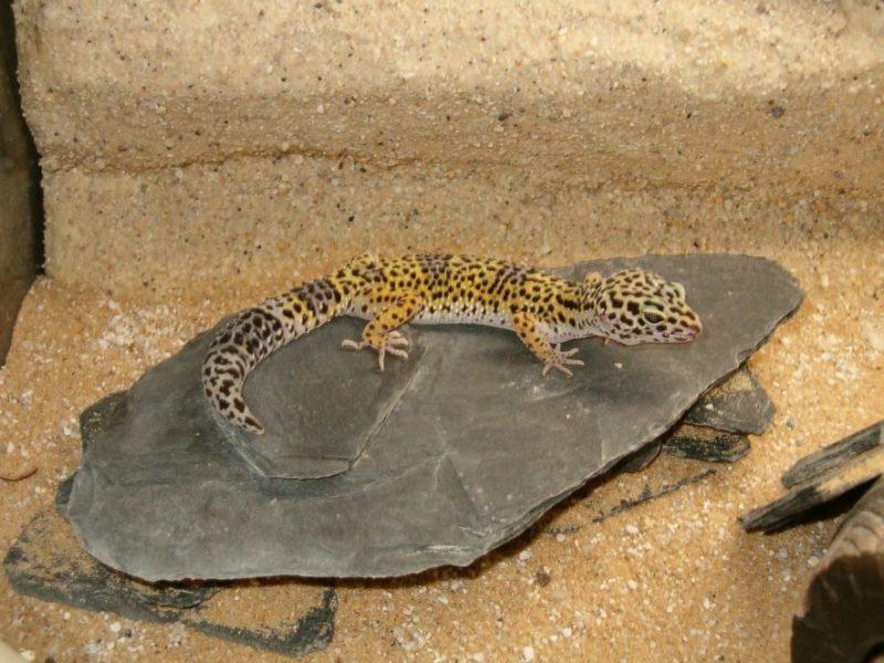 leopard gecko basking