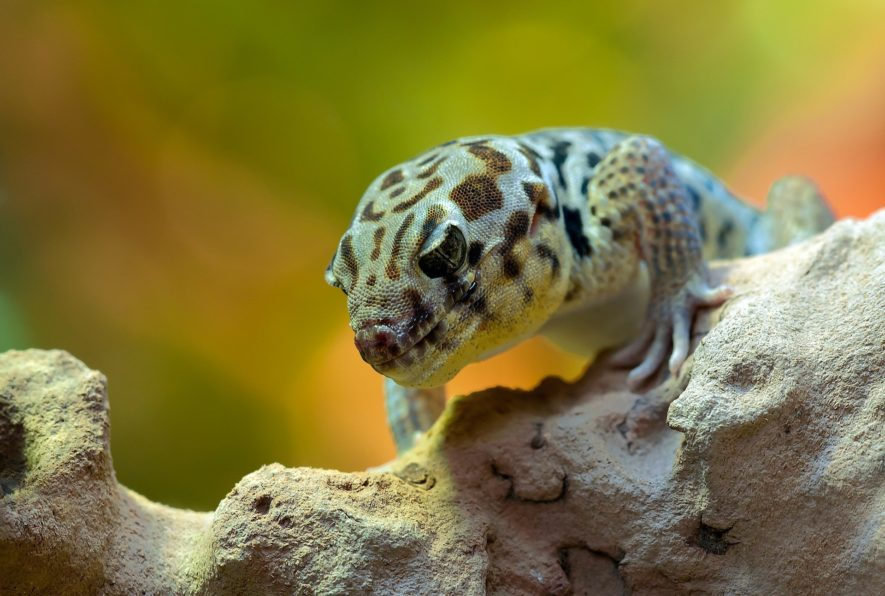 leopard gecko night light
