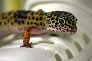 leopard gecko on a shoe