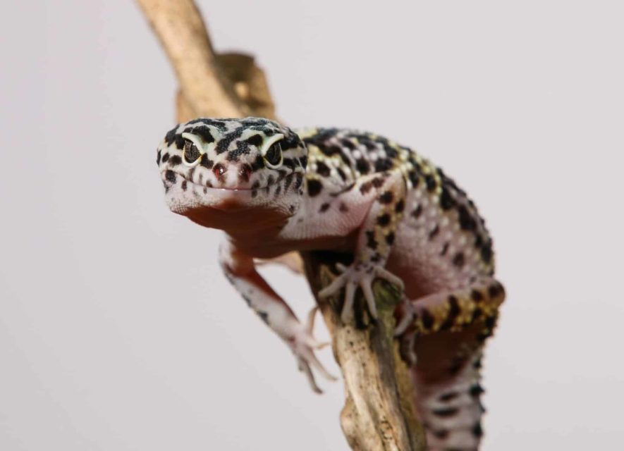 leopard gecko cost