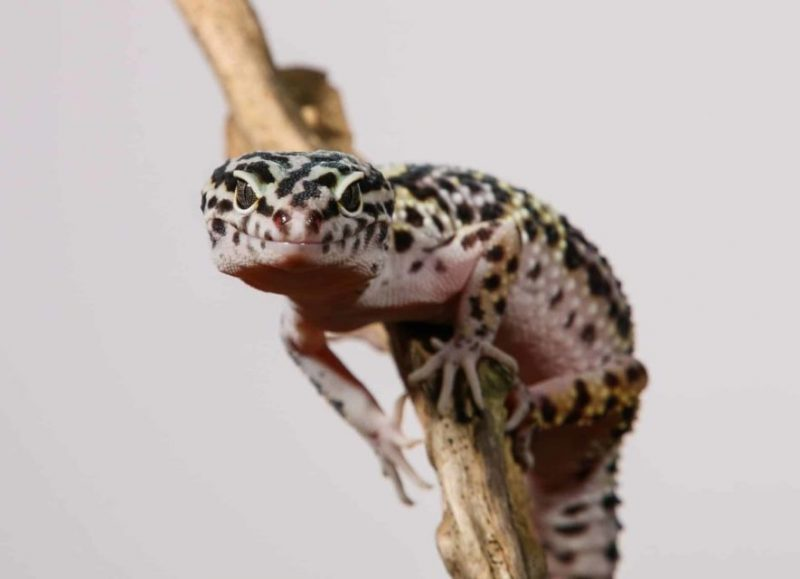 Choosing the Best Leopard Gecko Substrate: the Definitive Guide