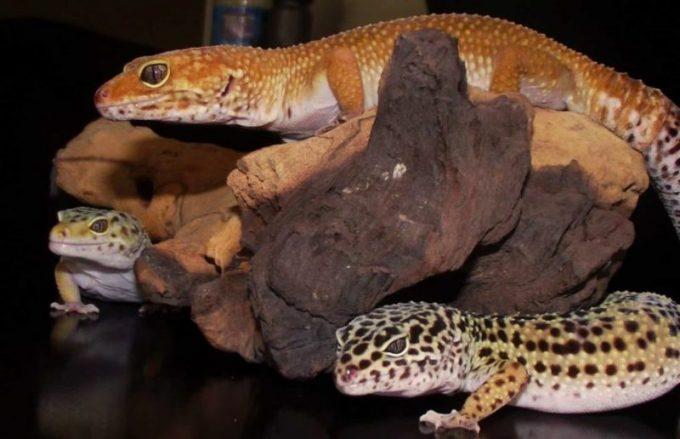 group of leopard geckos