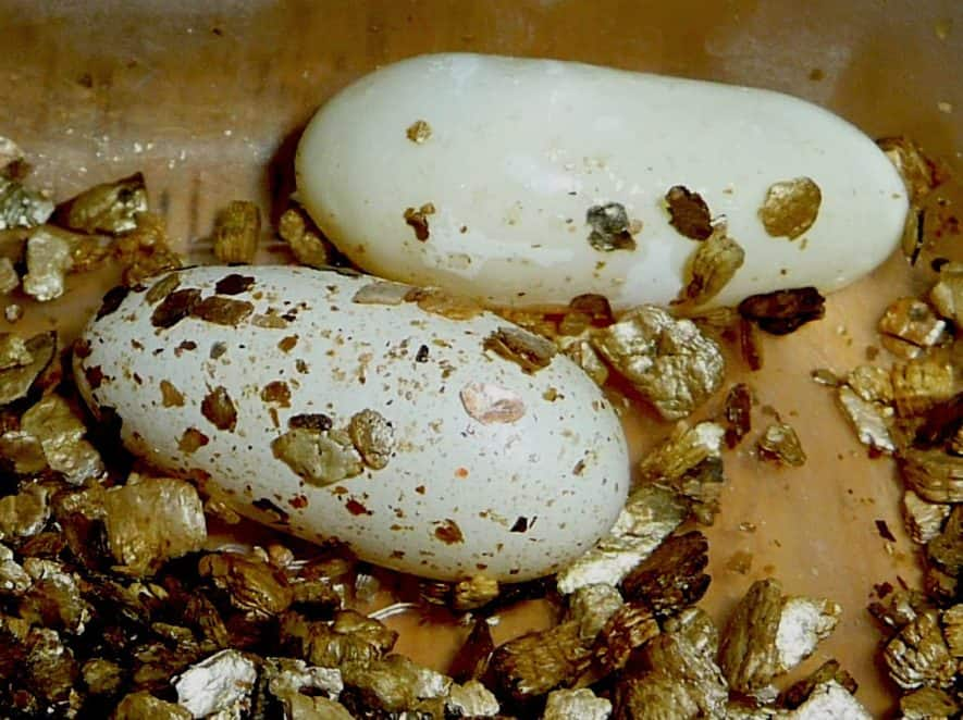 How to Breed Leopard Geckos? A Step by Step GuideLeopard Gecko Hatching