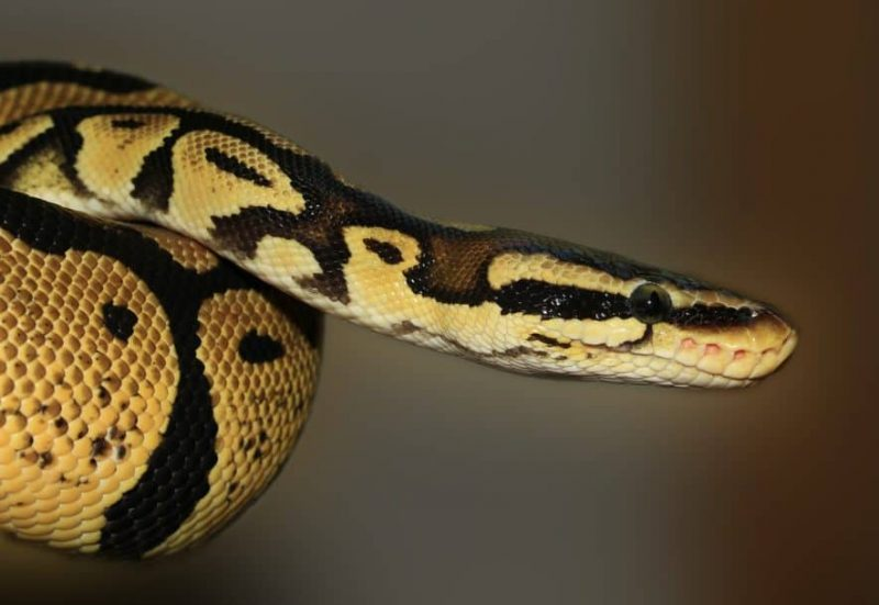 Best Pet Snakes for Beginners (11 Snakes with Pictures)