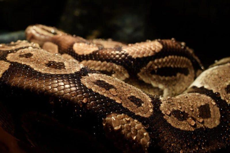 ball python body