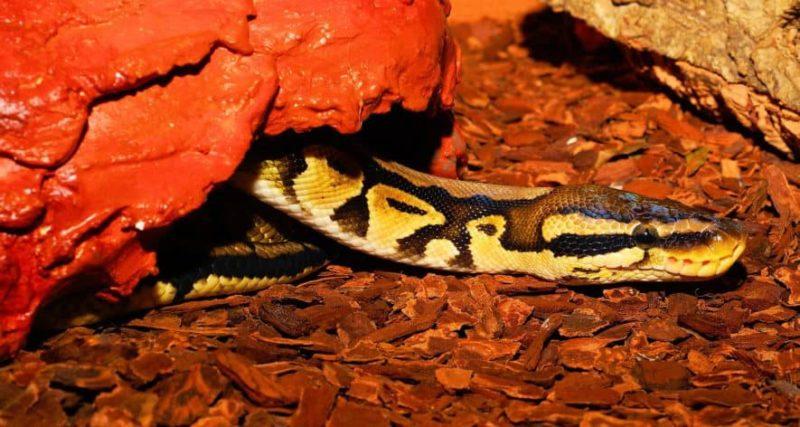ball python hide
