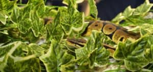 ball python terrarium