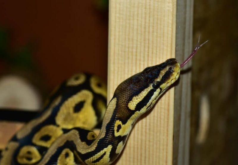 ball python wood enclosure
