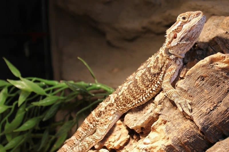 75 Inspiring Bearded Dragon Names for Male and Female