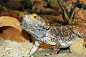 bearded dragon behavior