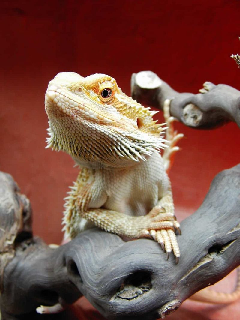bearded dragon usual behavior
