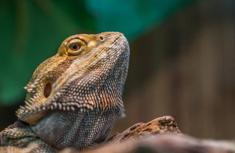 Image Led Treat Reptiles For Vitamin A Deficiency 12