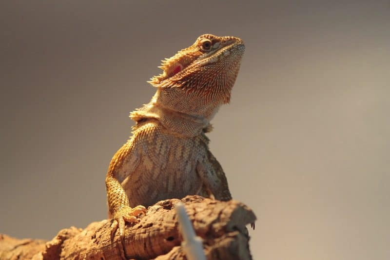 bearded dragon is one of the best pet lizards