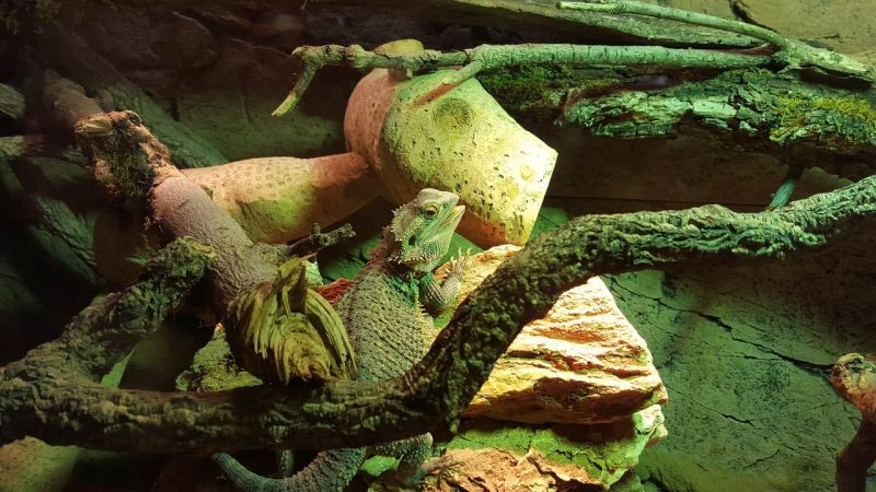 bearded dragon vivarium