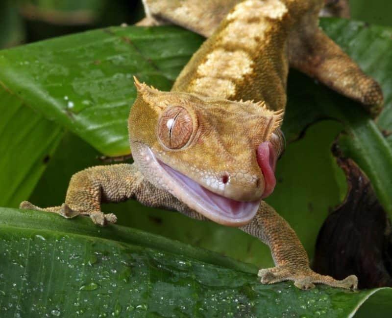 crested gecko eye licking