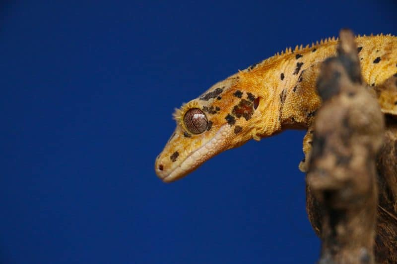 crested gecko head