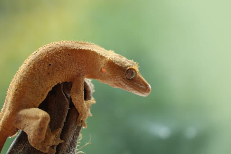 crested gecko on branch
