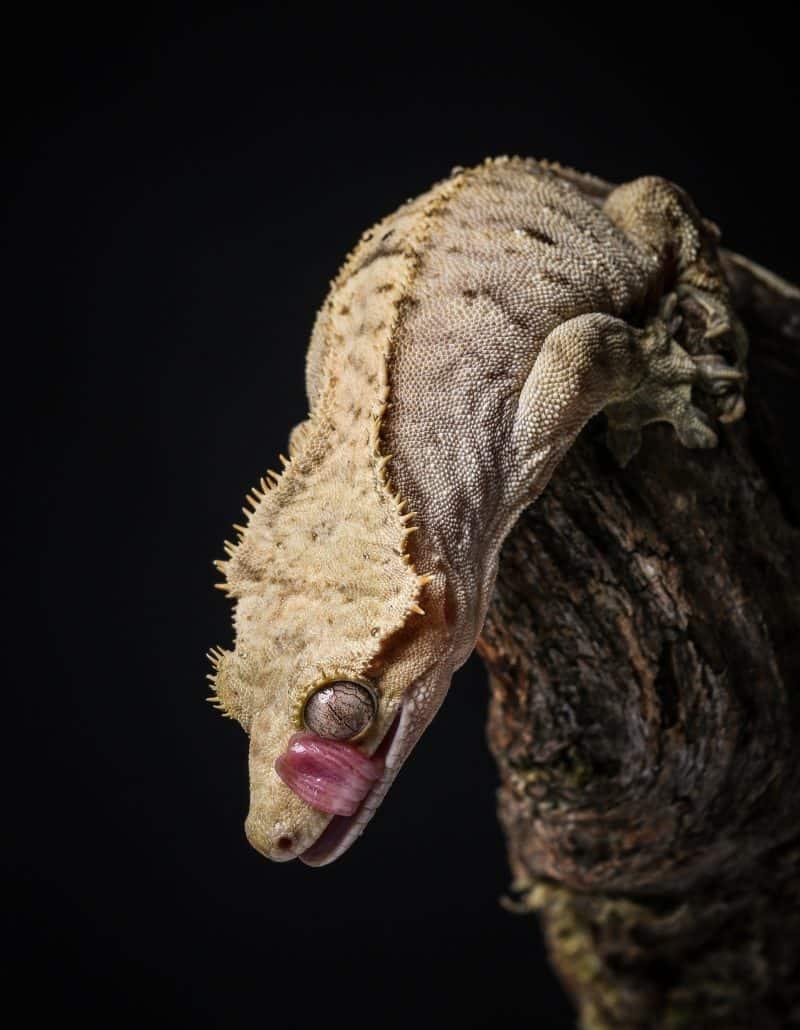 crested gecko profile