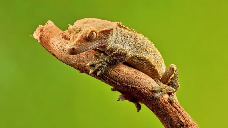 crested gecko waiting for food