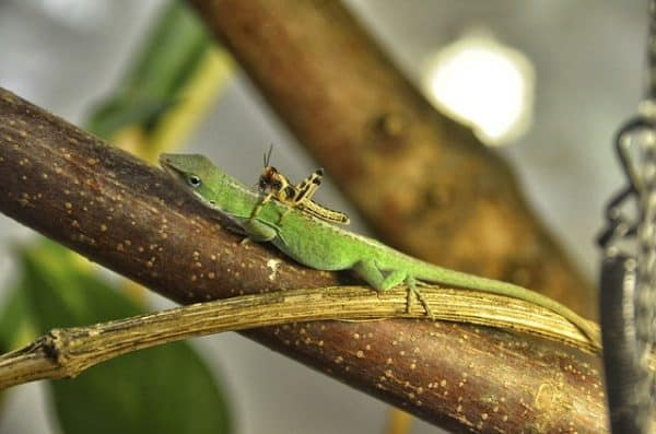 anole small pet lizard