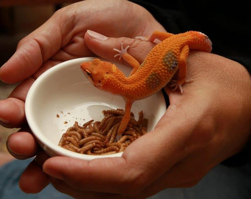 leopard gecko feeding