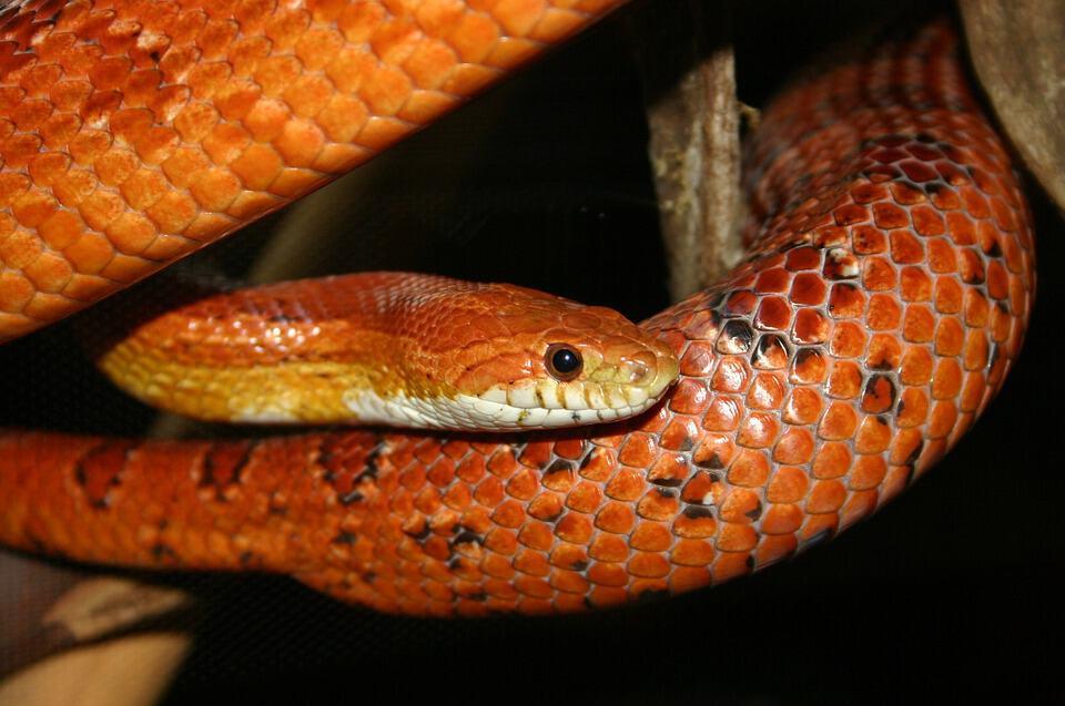 corn snake head