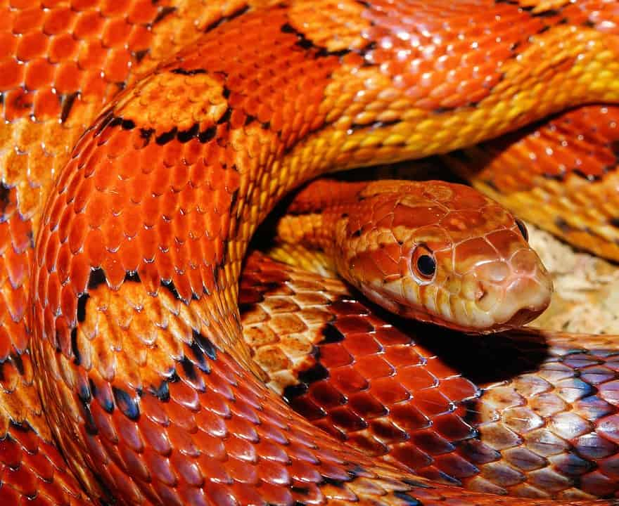 corn snake refuse food