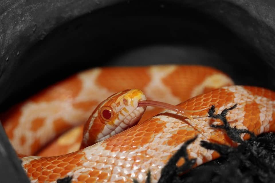 corn snake in its hide