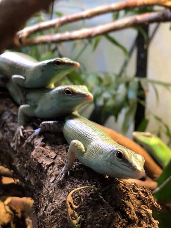 skinks in a bioactive vivarium