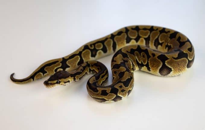 ball python named eve