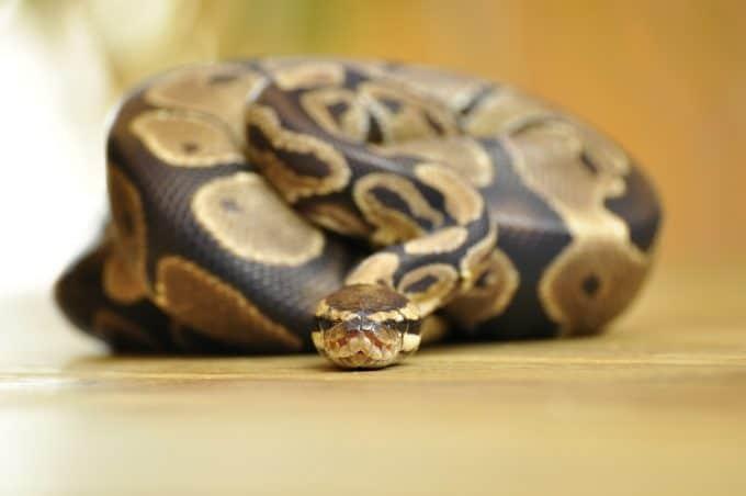huge ball python