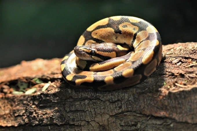 young ball python