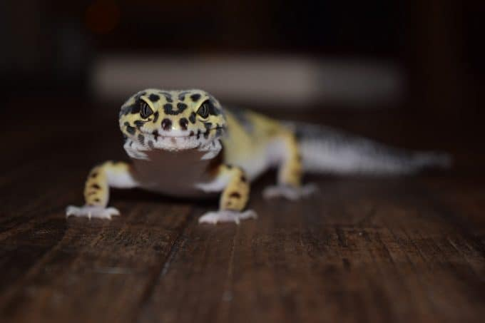 stressed leopard gecko