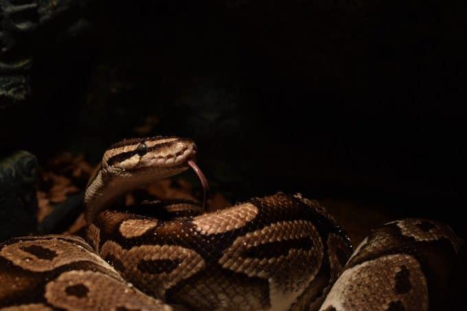 ball python picking a prey