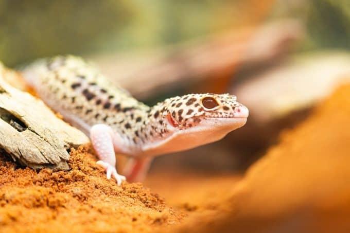 bored leopard gecko