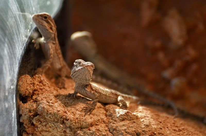 baby bearded dragons on excavator clay substrate