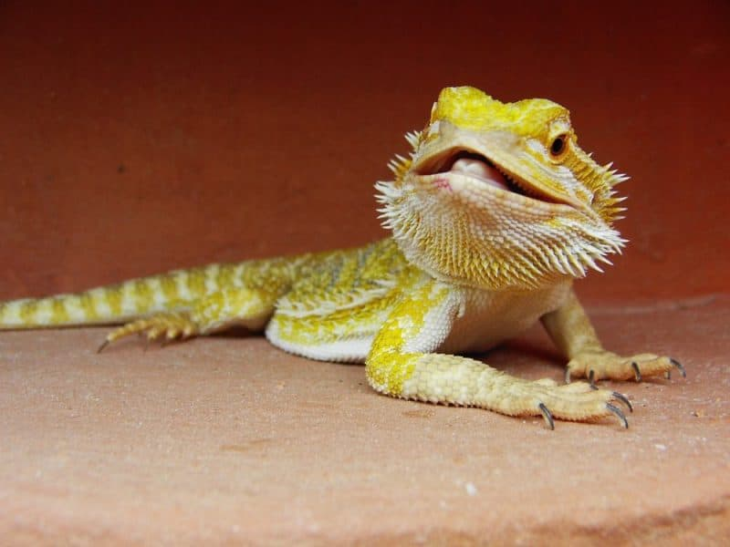 bearded dragon on hard substrate