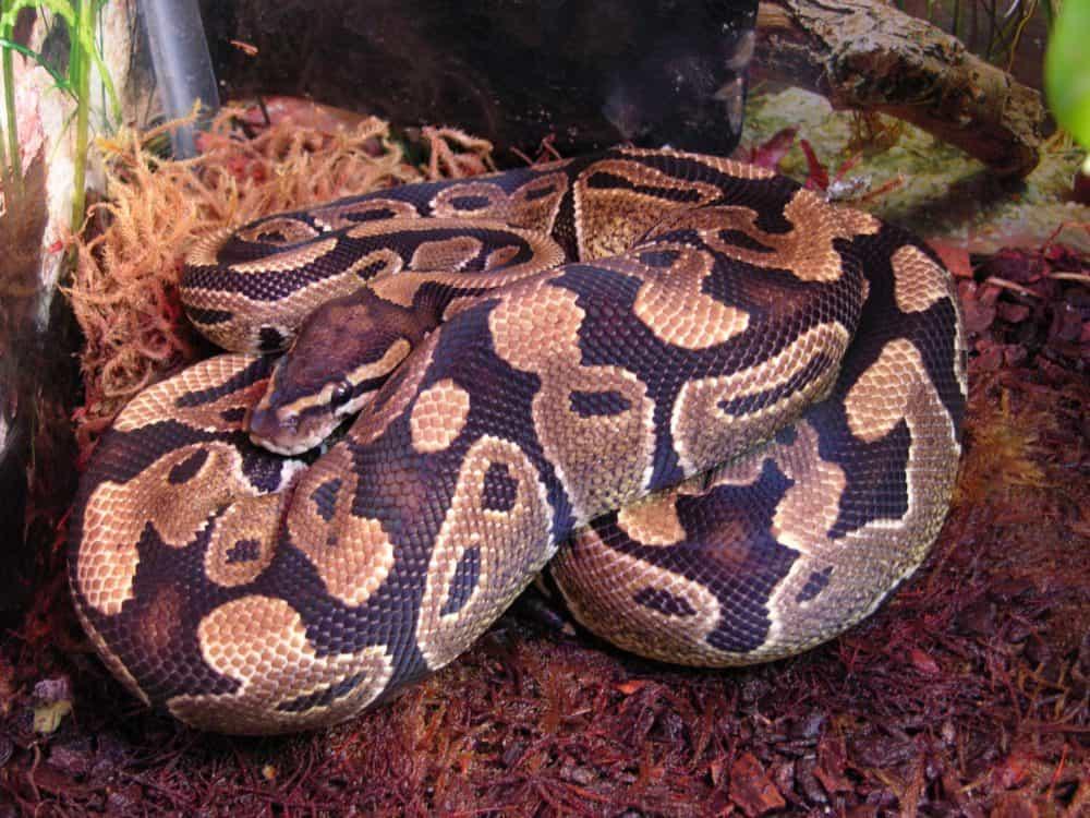 Ball python under natural light