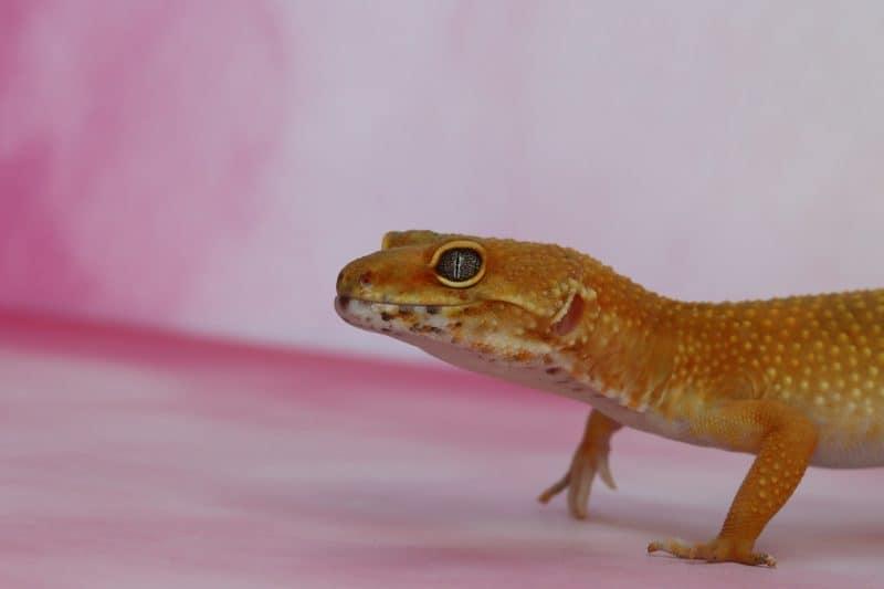 leopard gecko refusing food