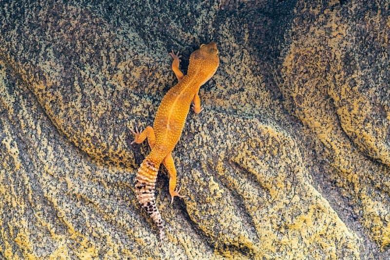 leopard gecko climbing his habitat