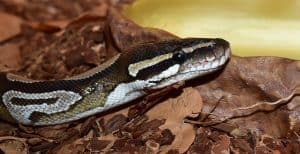 ball python with bioactive substrate