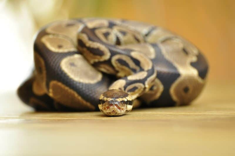 Ball Python under lamp