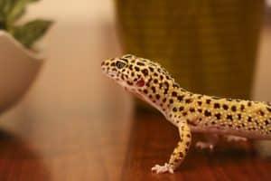 Leopard gecko at the breeder
