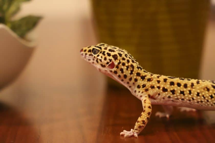 Leopard gecko at the breeder