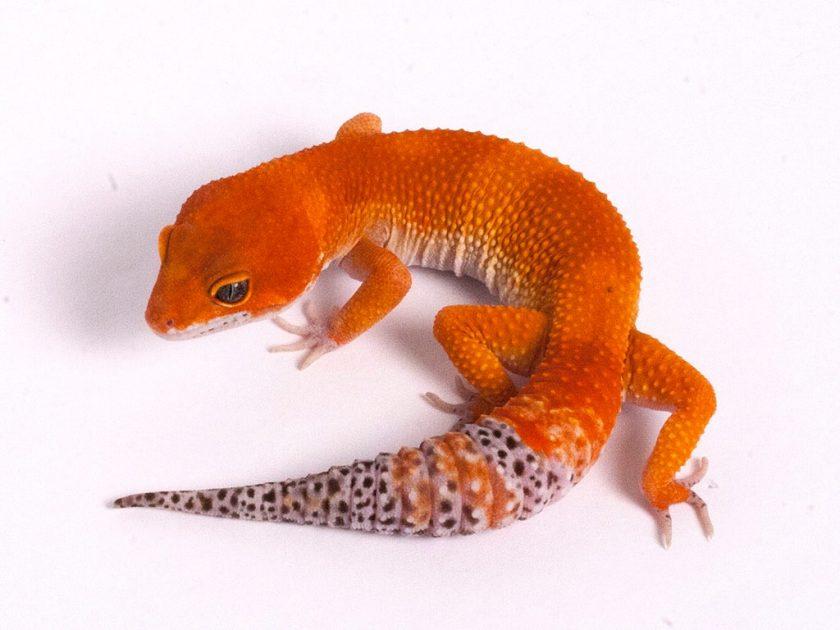 Leopard gecko from Gecko Daddy breeder